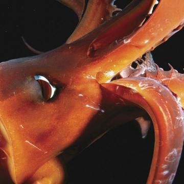 squidjuice