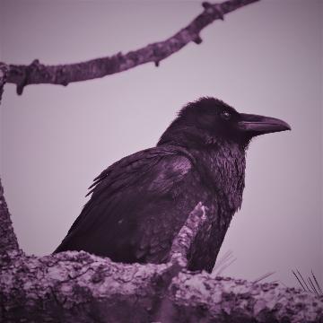 Hazy Crow